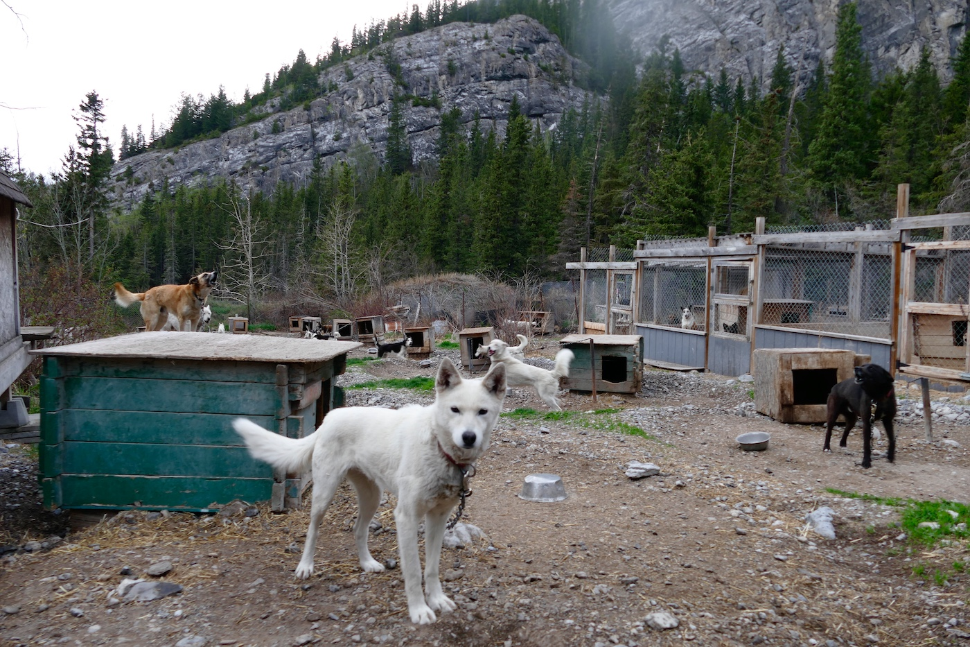 Sled dogs suffer in the summer