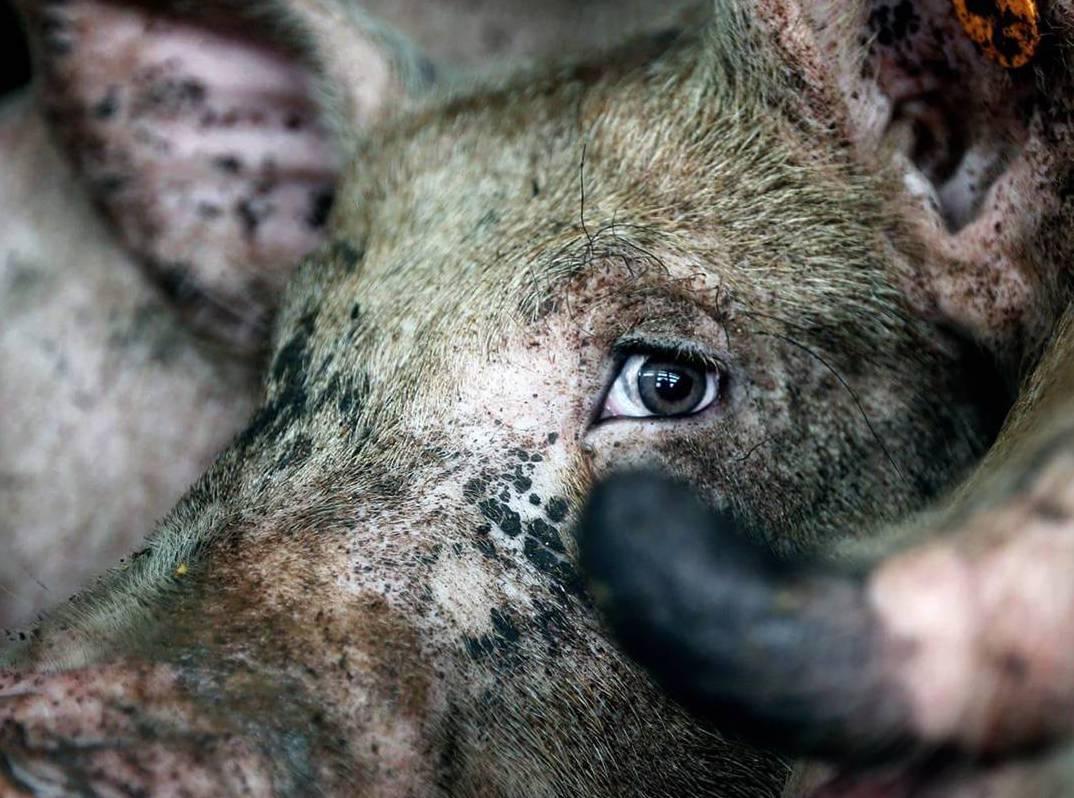 pig sentient suffering