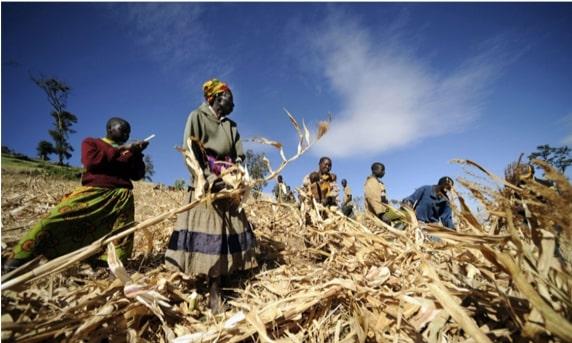 farmers in dry field