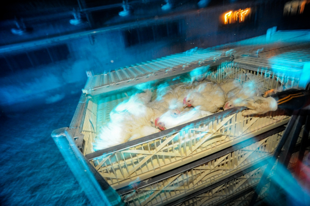 chicken cruelty slaughter