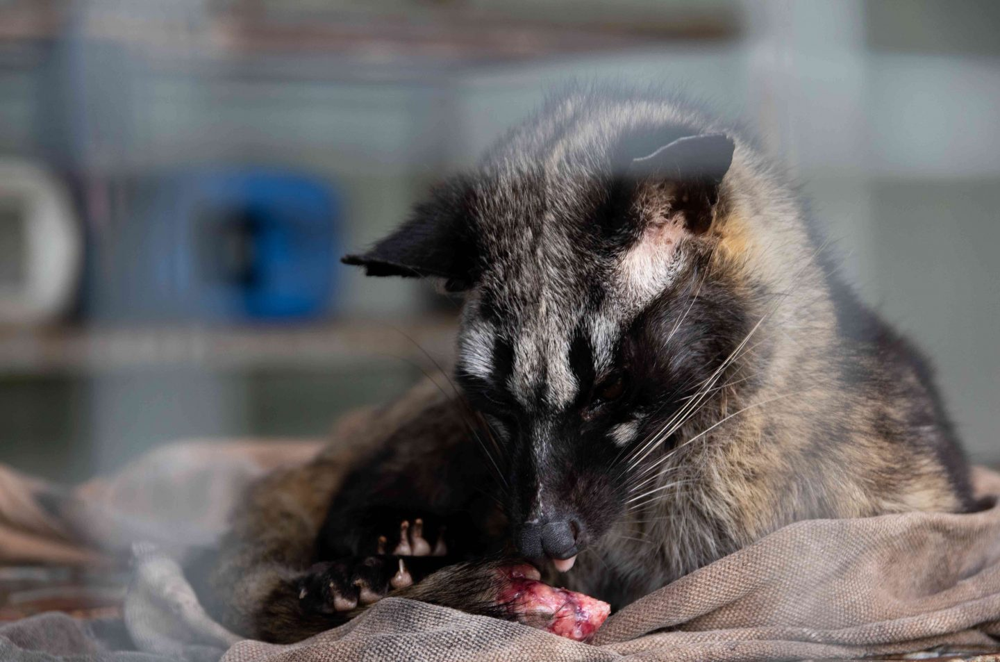 civet cat cruelty