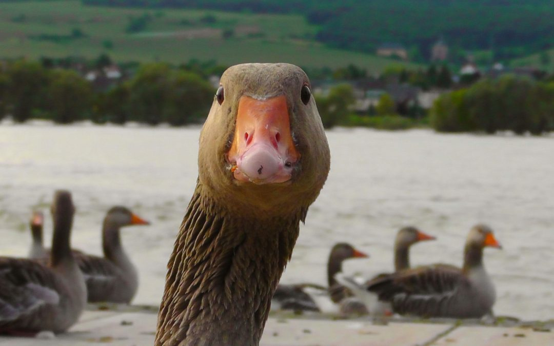 Fighting Against Foie Gras: NYC Moves Toward A City-Wide Ban