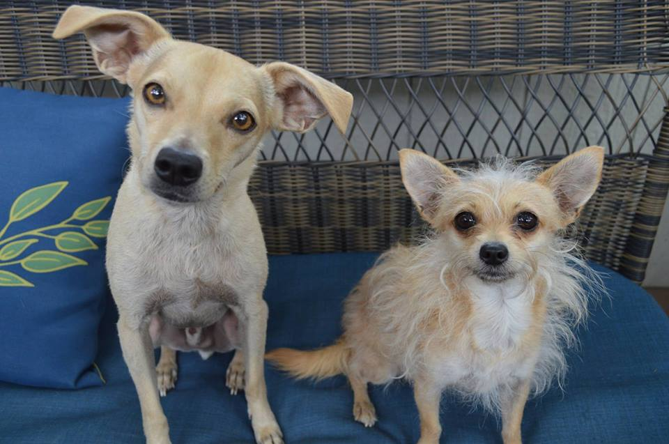 Our Companions: Lance and Lilly, Two Little Dogs Brought Together by Fate