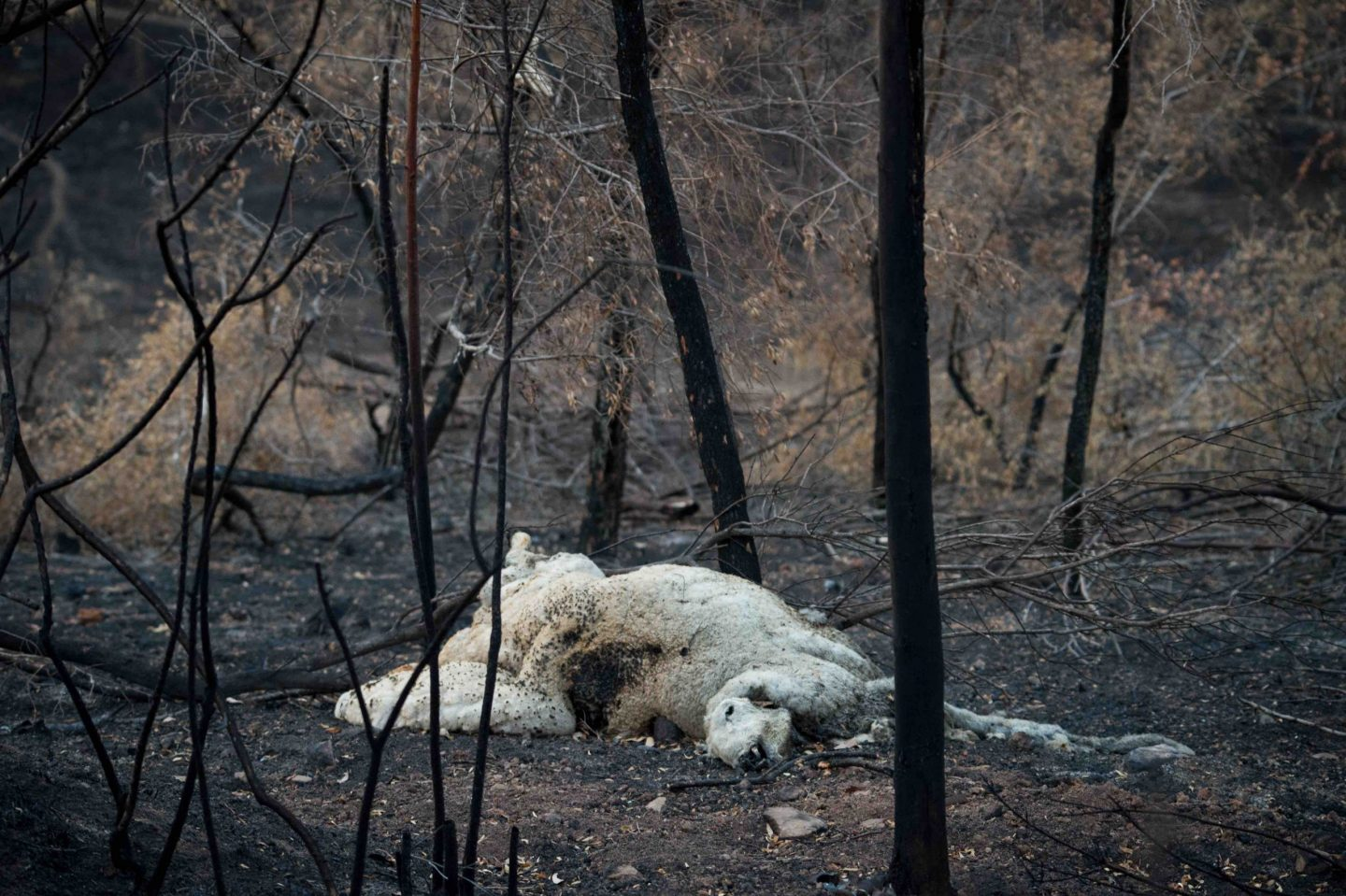 sheep dead forest