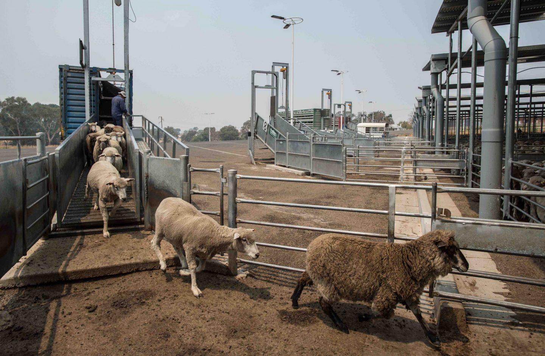 sheep sale yard