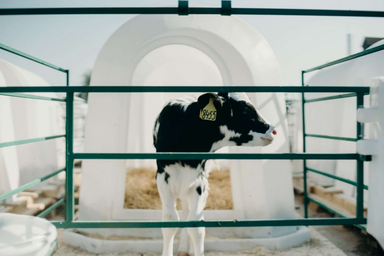 cow calf farm