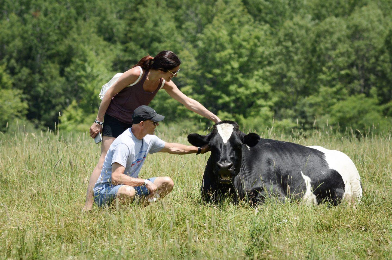cow farm sanctuary