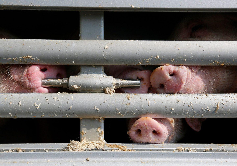 pig transport cruelty