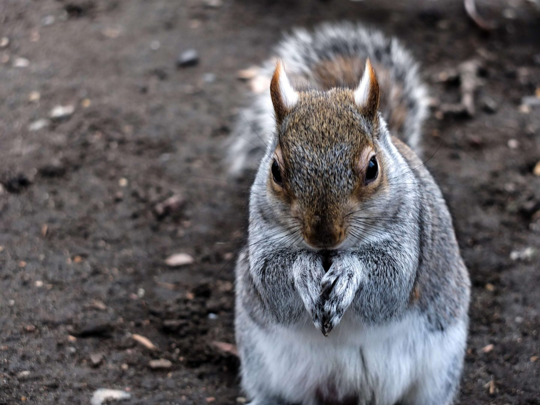 grey squirrel london