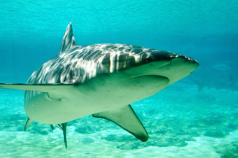 shark sentient animal