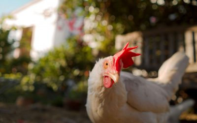 VIDEO: Berkeley Resident Opens Backyard to Rescued Chickens