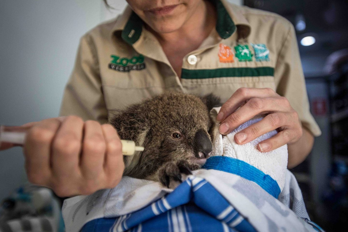 koala wildlife rescue