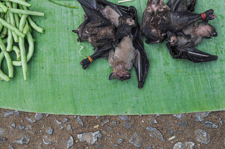 bats covid virus