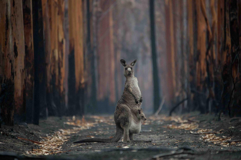 australia fires animal