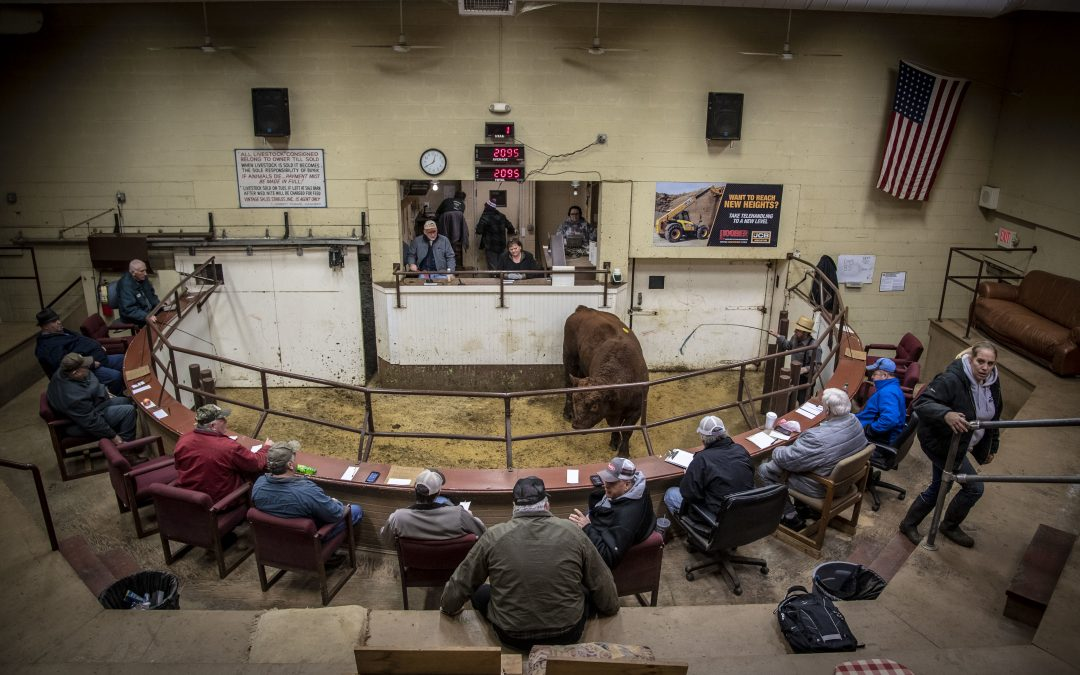 A Feminist Perspective on a Livestock Auction