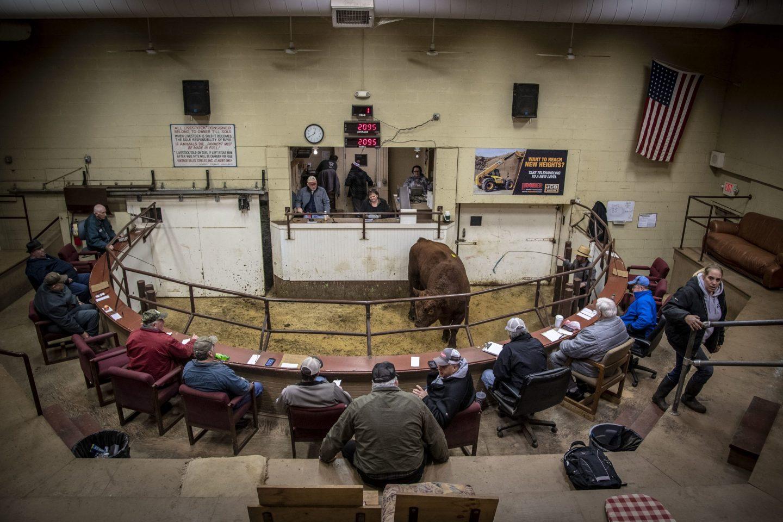 livestock auction cattle