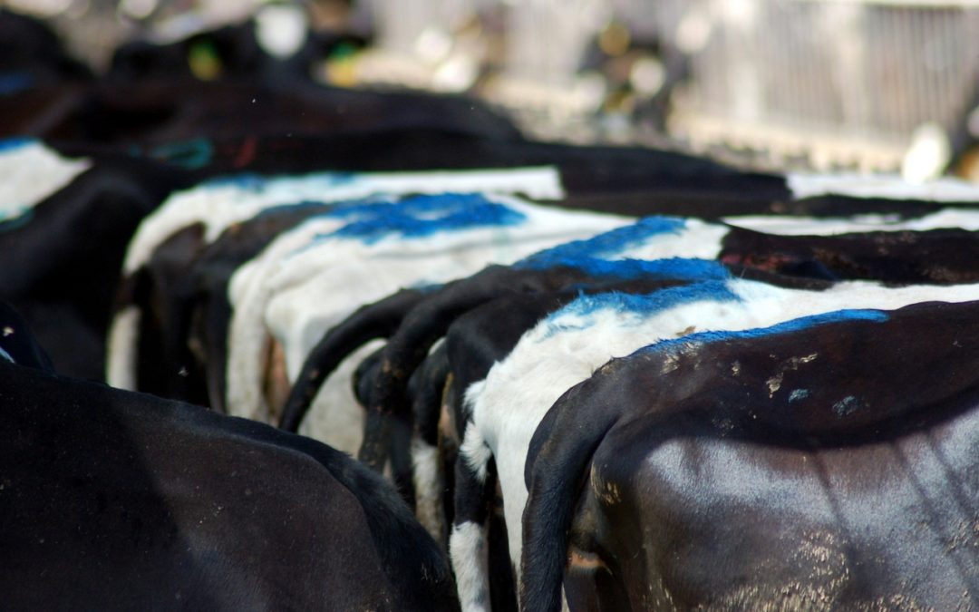 Are Dairy Digesters the Renewable Energy Answer or a 'False Solution' to Climate Change?