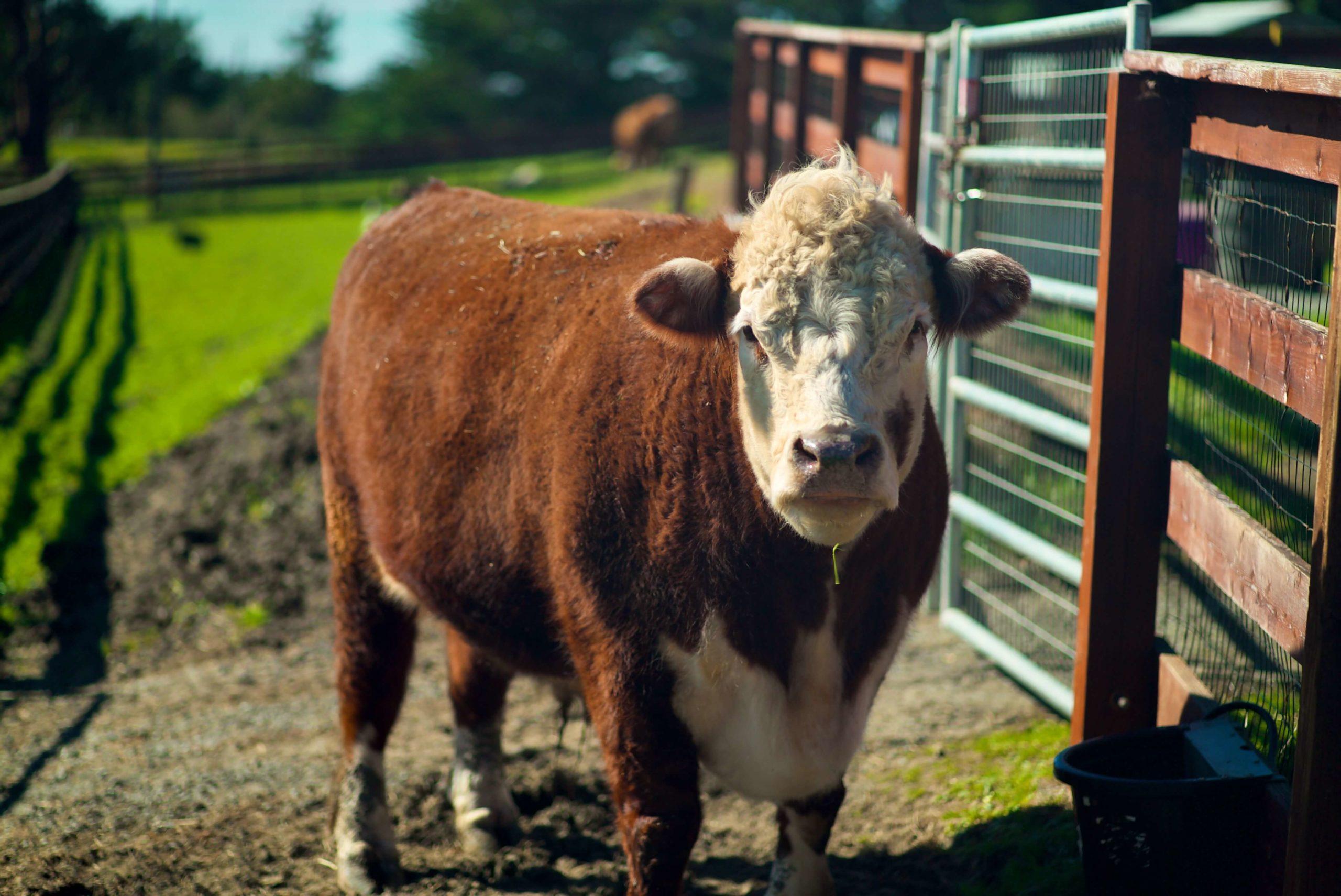 sweet farm cow