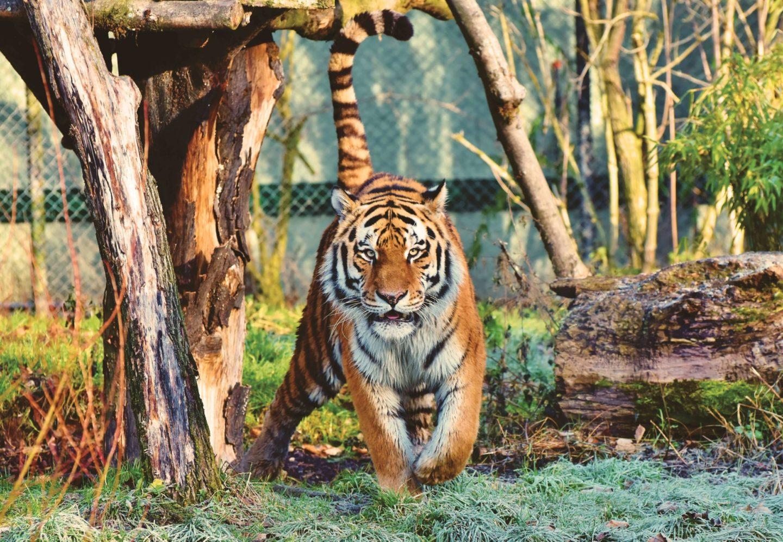 tiger king cage