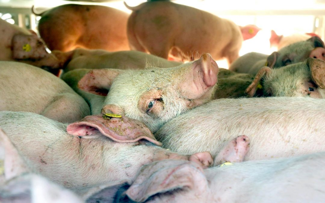 """Suffocating Healthy Farmed Animals During Pandemic Is Not """"Euthanasia"""""""