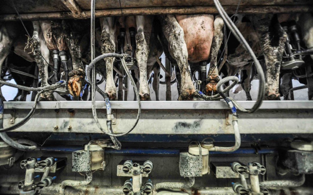 COVID-19 Revealing Inherent Cruelty of Agribusiness