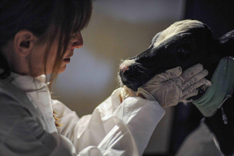 calf rescue slaughter