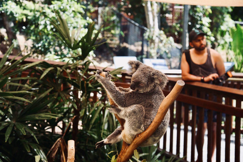 koala animal captivity