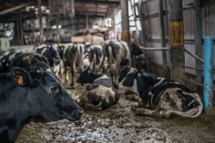 cows intensive agriculture