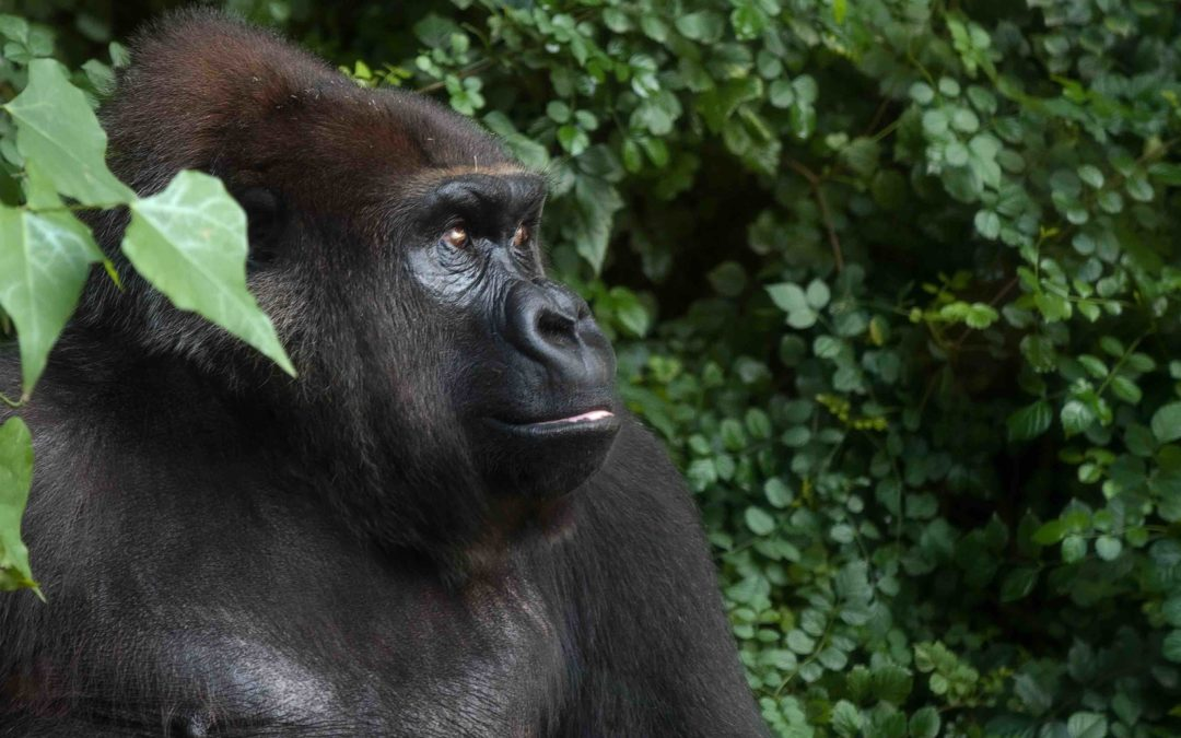 Coronavirus Pandemic Threatening Last of the Great Apes