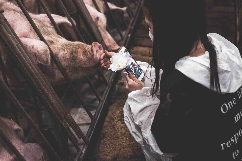 animal activist pig