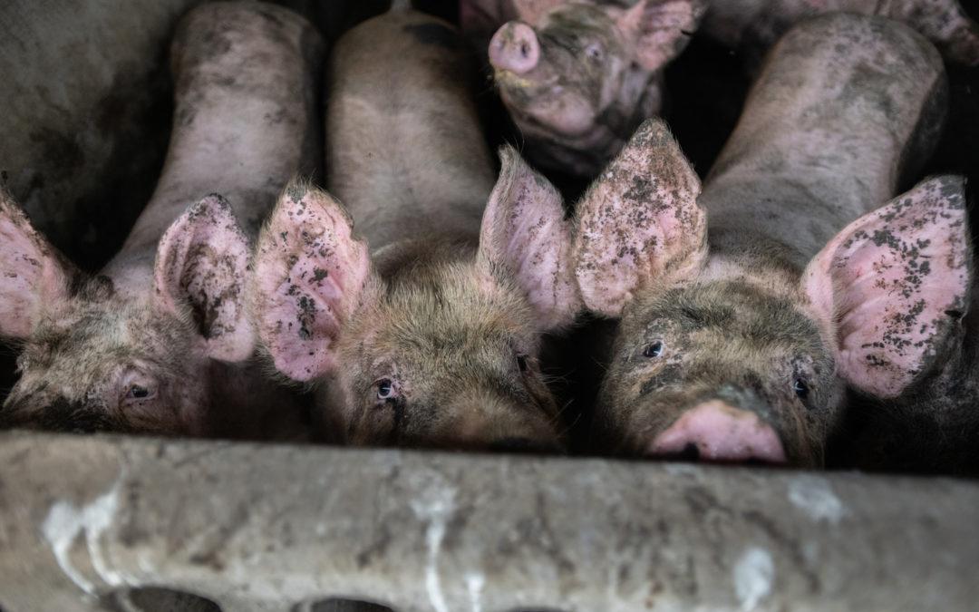 Pork Industry's COVID-19 Response Demonstrates Innate Brutality of Factory Farming