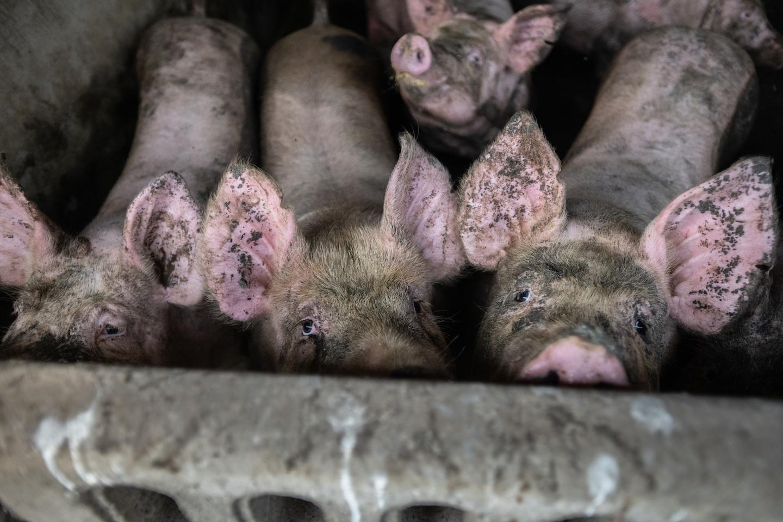 pigs farm animal