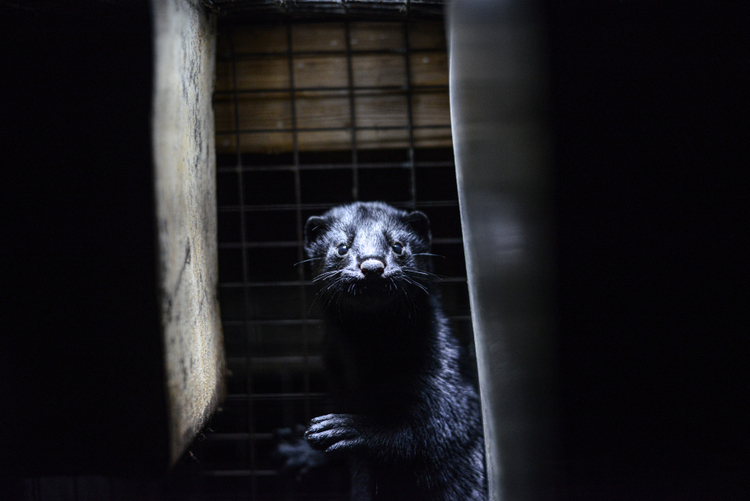 Dutch Parliament Votes to Close Mink Fur Farms Following COVID-19 Outbreaks