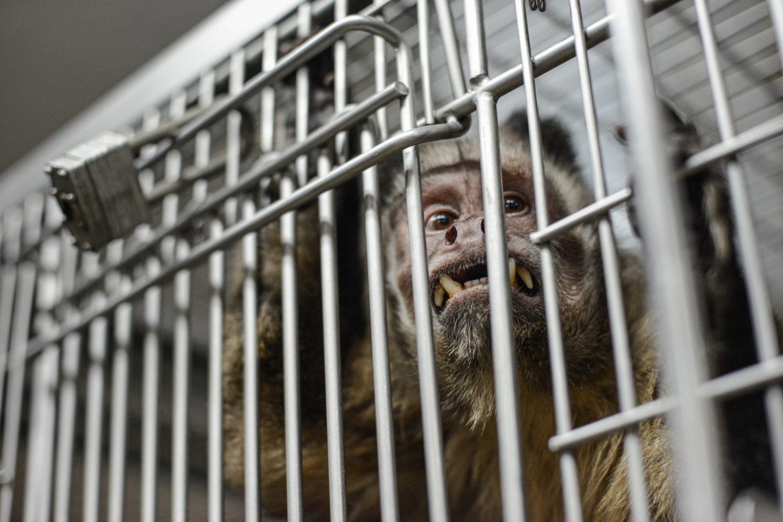 monkey lab animal