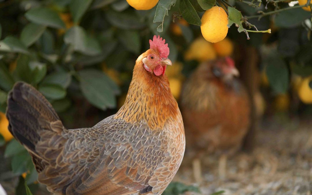 More Chickens Finding Backyard Homes During Pandemic