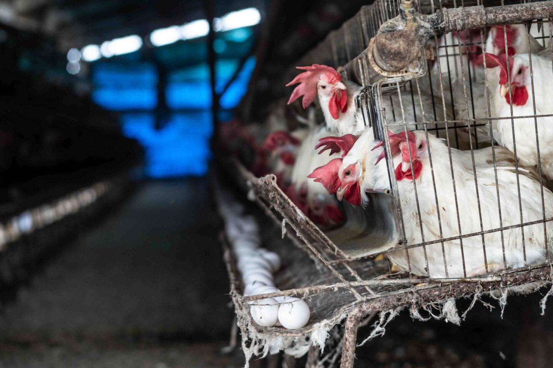 farming layer hens