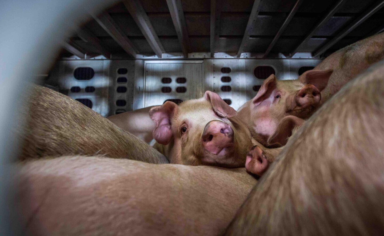 pigs covid transport