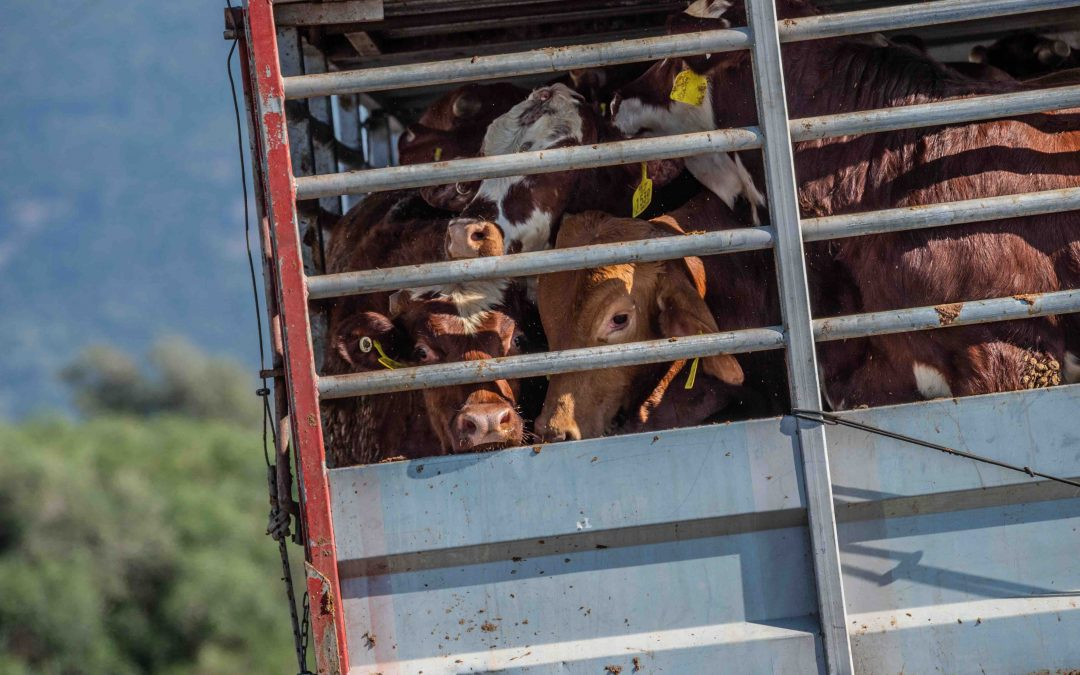 Animal Welfare Campaigners and UK Politicians Clash Over Live Exports