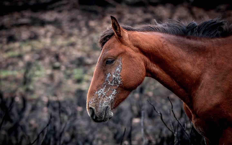 wild horse Brumby
