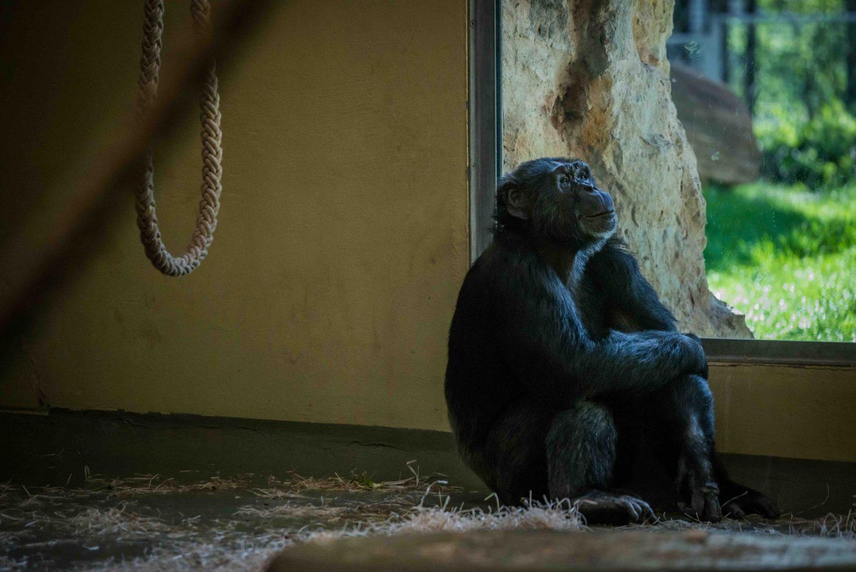 monkey captive zoo