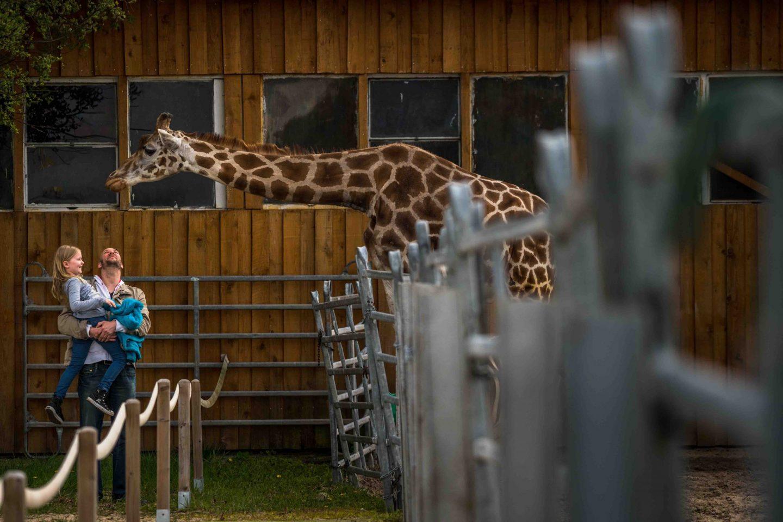giraffe zoo humans