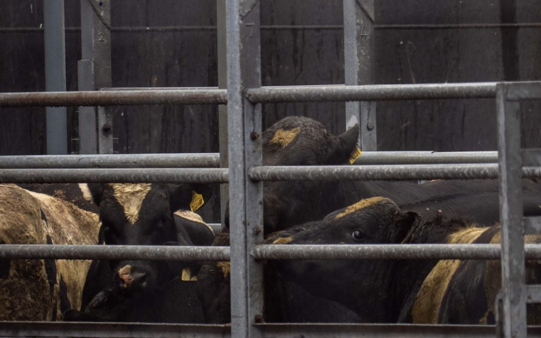 "European Commission Accused of ""Gross Cynicism"" Toward Farmed Animal Welfare"