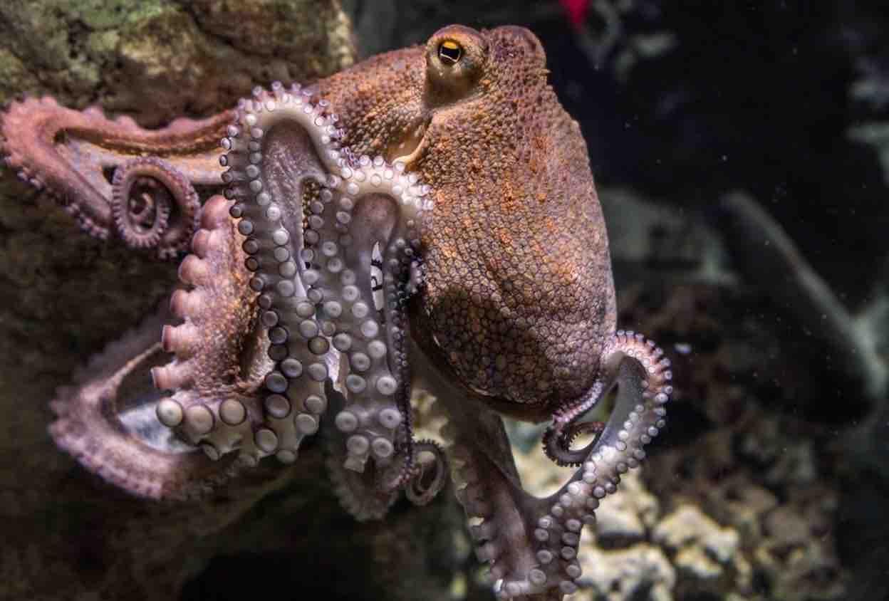 common octopus creature