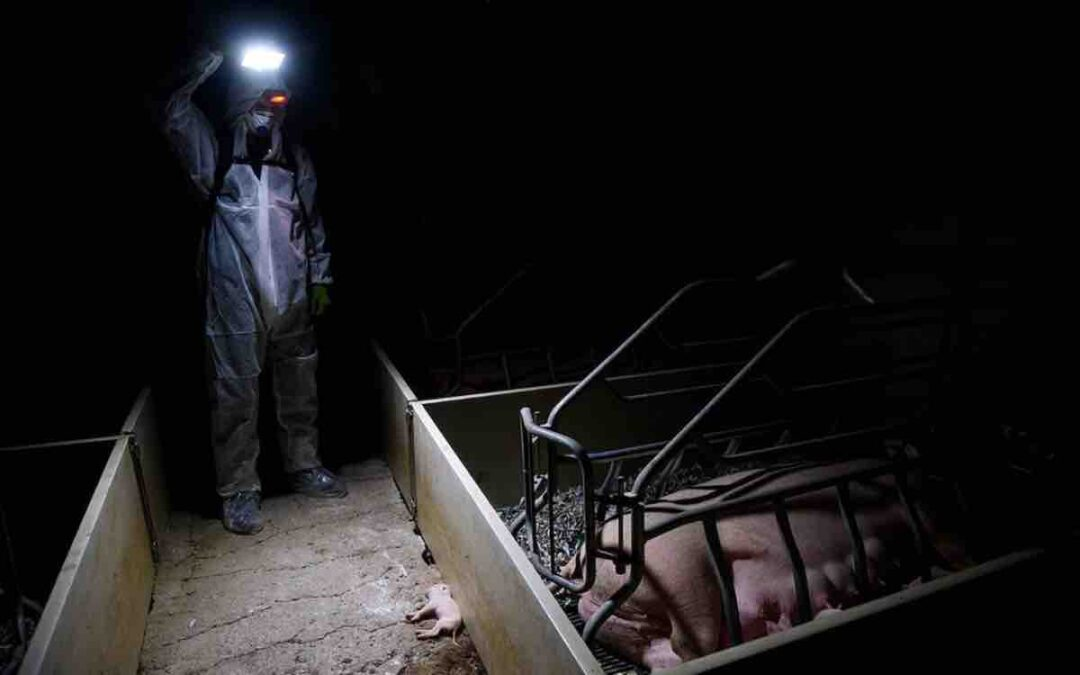 I Went Undercover on a Factory Farm—This Is What I Learned