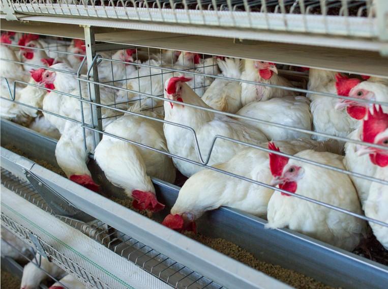 factory farmed chickens