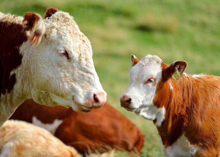 factory farmed cows free range