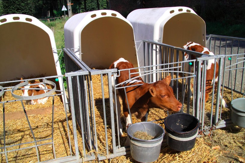 calves of dairy cows separated from mothers