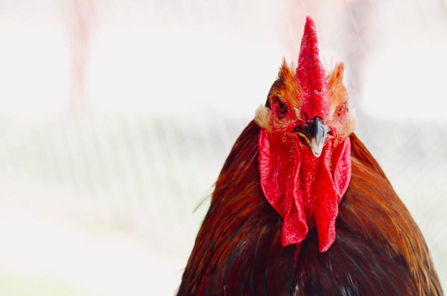 factory farmed broiler hens