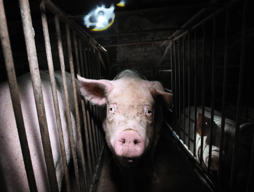 factory farm pigs