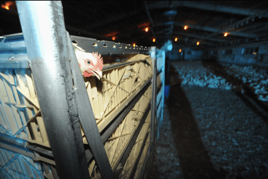 life of a factory farmed chicken